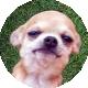 Chihuahuas con Amor